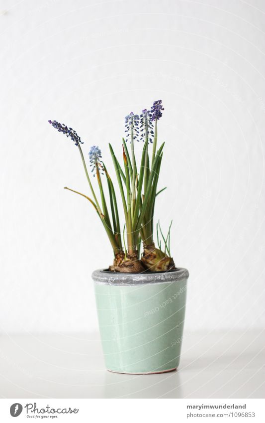 frühlingsgefühle. Natur Pflanze Tier Blatt Blüte Grünpflanze Topfpflanze Traubenhyazinthe Hyazinthe Knollengewächse Blume Blumentopf Blütenpflanze blau grün