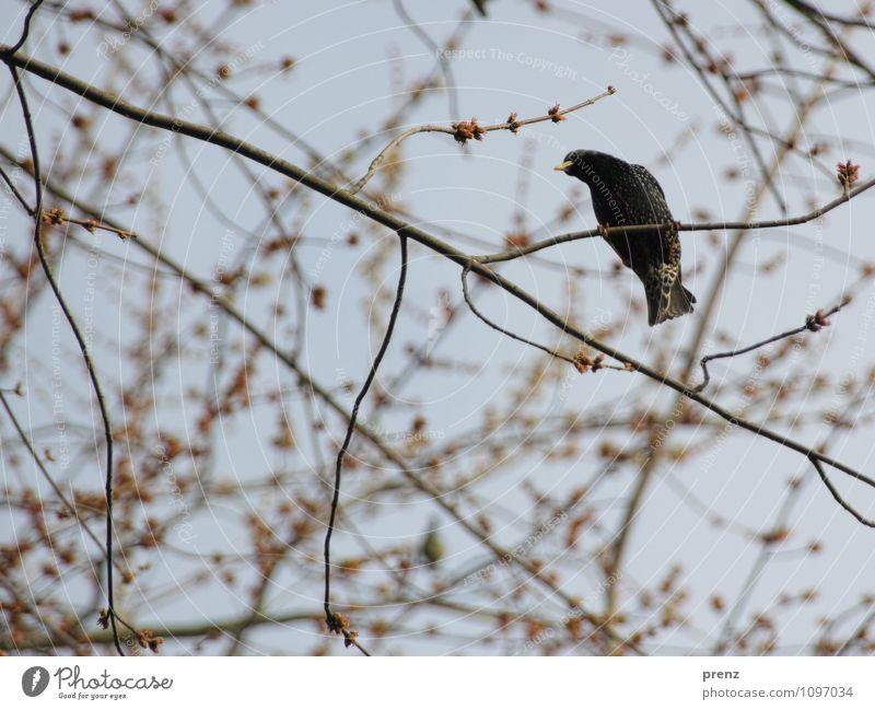 Star1 Umwelt Natur Tier Vogel braun grau Frühling Zweige u. Äste Singvögel Farbfoto Außenaufnahme Menschenleer Tag Schwache Tiefenschärfe Froschperspektive