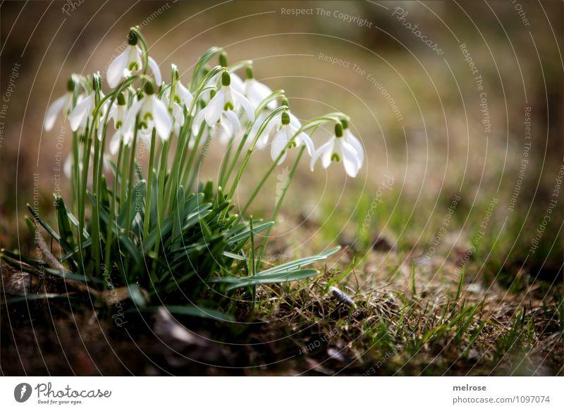 Frühlingsboten II elegant Stil Natur Erde Schönes Wetter Pflanze Blume Gras Moos Blatt Blüte Wildpflanze Schneeglöckchen Frühblüher Blütenstiel Garten mehrere