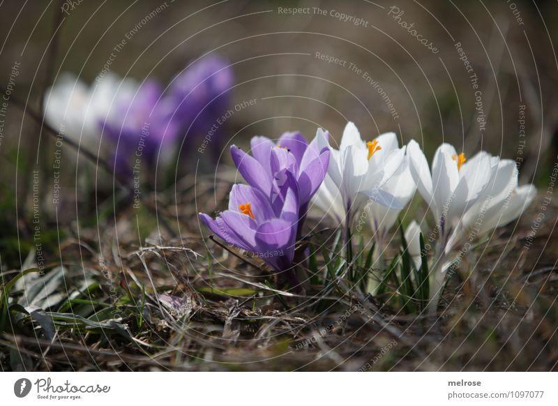Ausgrenzung Stil Natur Pflanze Erde Frühling Schönes Wetter Blume Gras Blüte Wildpflanze Frühblüher Krokusse Blütenblatt Blütenstempel Wiese beobachten Blühend