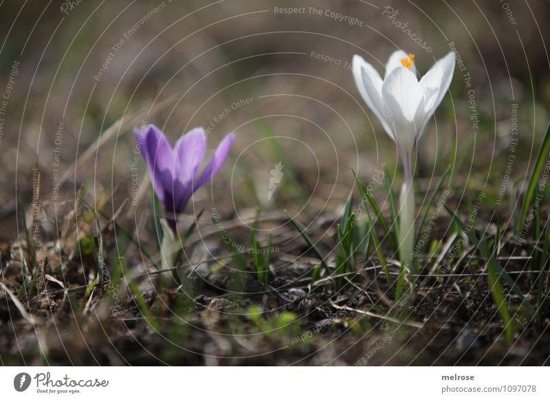 gemeinsam einsam elegant Natur Pflanze Erde Frühling Schönes Wetter Blume Gras Blüte Wildpflanze Krokusse Frühblüher Blütenstempel Blütenstiel Blühend Erholung