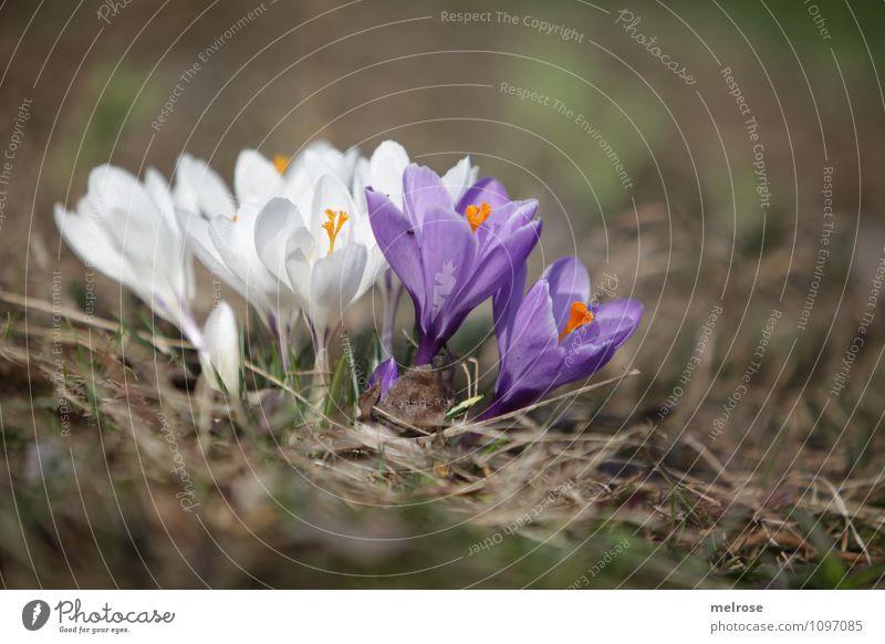 Zusammenhalt elegant Stil Natur Pflanze Erde Frühling Schönes Wetter Blume Blüte Wildpflanze Frühblüher Krokusse Blütenstempel Blütenblatt Garten mehrere
