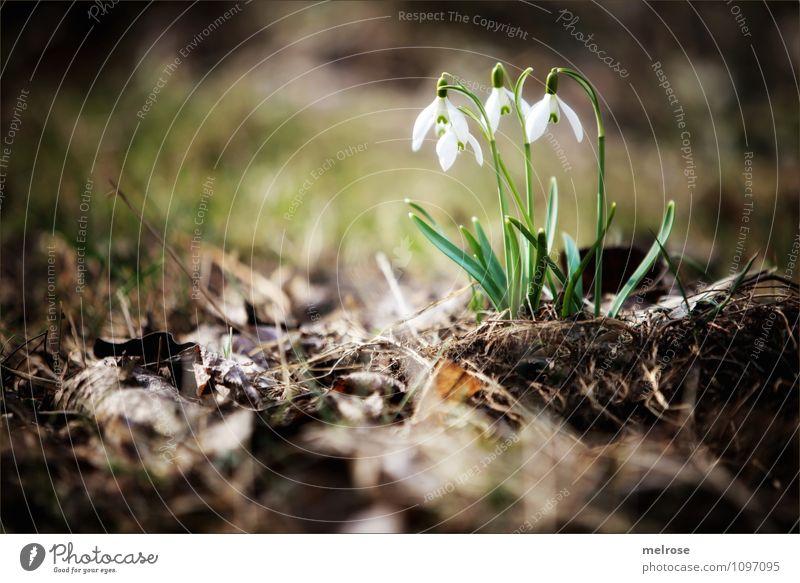 Frühlingsboten elegant Stil Natur Pflanze Erde Schönes Wetter Blume Moos Blatt Blüte Wildpflanze Schneeglöckchen Frühlingsknotenblumen Blütenstiel Garten