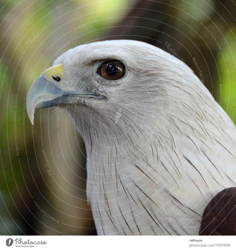 Adlerauge schön weiß Tier gelb grau braun Vogel Wildtier authentisch Tiergesicht Zoo klug