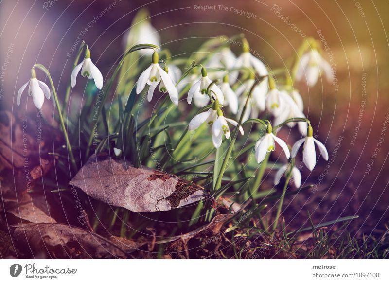Schneeglöckchen Natur Pflanze schön grün weiß Sonne Blume Blatt Frühling Blüte Stil Garten braun Wachstum leuchten Erde
