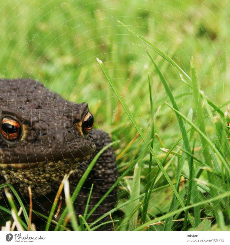 Leck mich :) Tier hüpfen Blick warten hocken Gras Wiese grün braun groß Kaulquappe Ekel gruselig Unschärfe Hintergrundbild Küssen Märchen tierisch klein