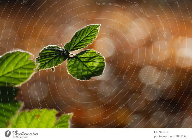 Im Wald mit Gegenlicht Natur Pflanze Tier Sonnenlicht Sommer Herbst Schönes Wetter Blatt Grünpflanze leuchten schön Wärme braun gelb grün Farbe Unschärfe