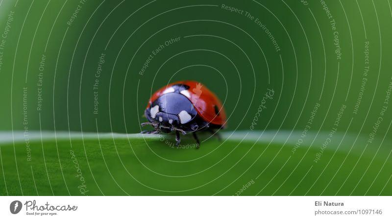 Marienkäfer Natur Frühling Sommer Schönes Wetter Pflanze Gras Blatt Grünpflanze Wiese Tier Wildtier Käfer 1 blau grün rot weiß Zufriedenheit entdecken Glück