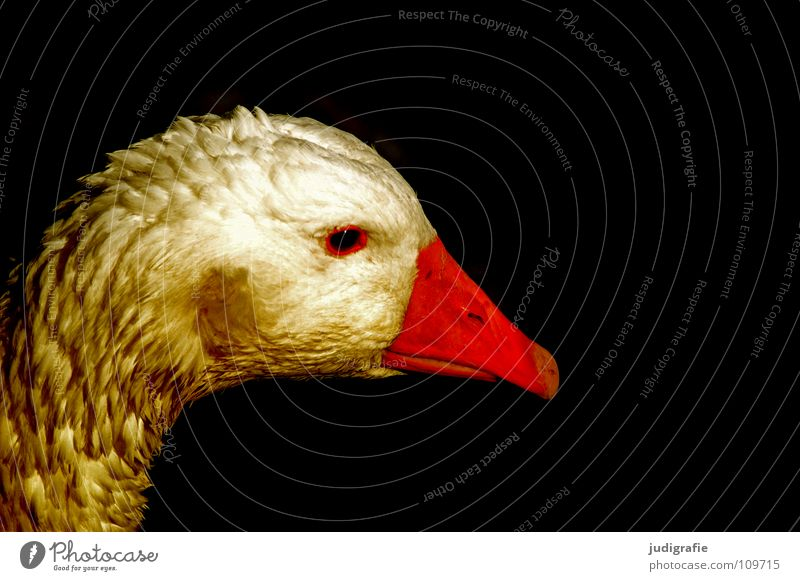 Die Goldene Gans Farbe Vogel Feder Bauernhof Haustier Märchen Schnabel Tier Federvieh Hausgans Die goldene Gans