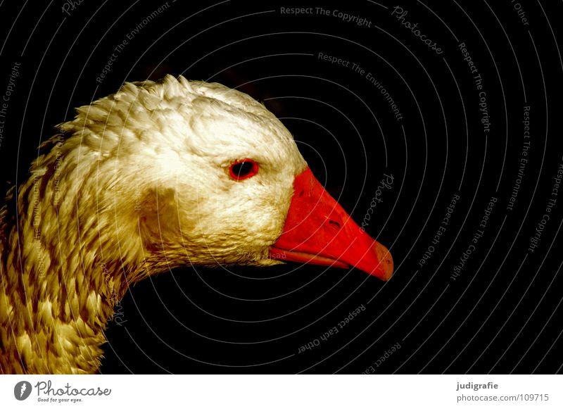 Die Goldene Gans Hausgans Vogel Federvieh Haustier Märchen Schnabel Bauernhof Farbe Die goldene Gans brüder grimm