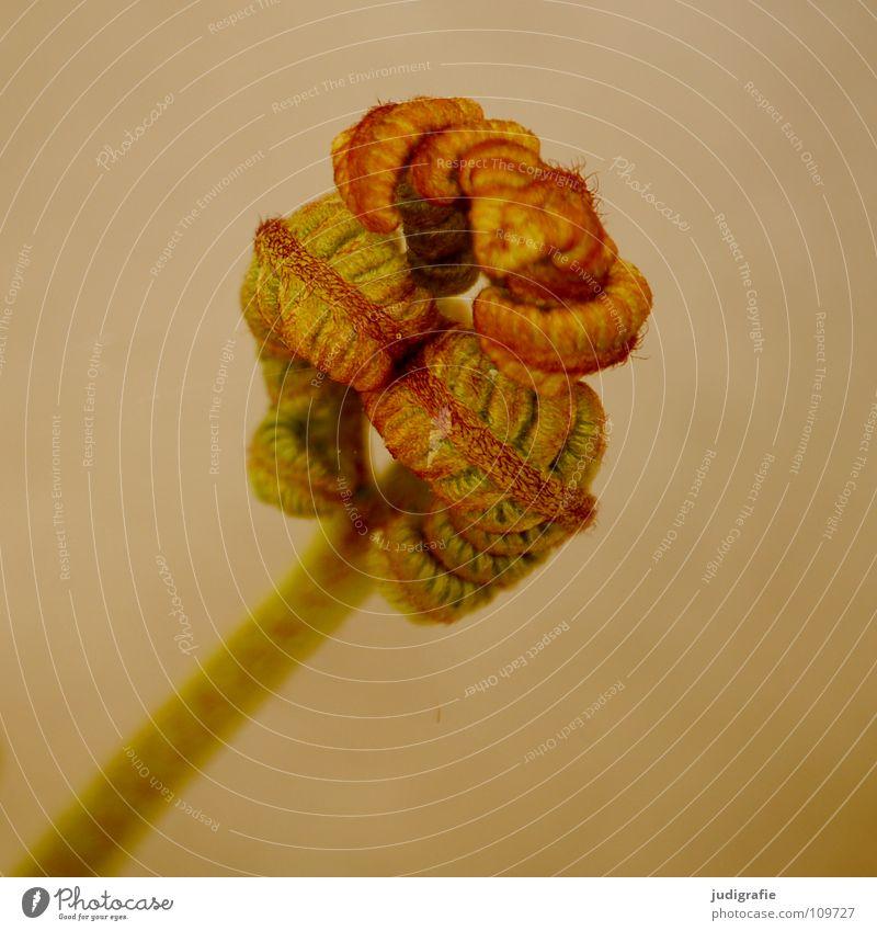 Farn Natur grün Pflanze Farbe Leben Kraft Wachstum Faust Trieb Echte Farne gedeihen Jungpflanze zusammengerollt