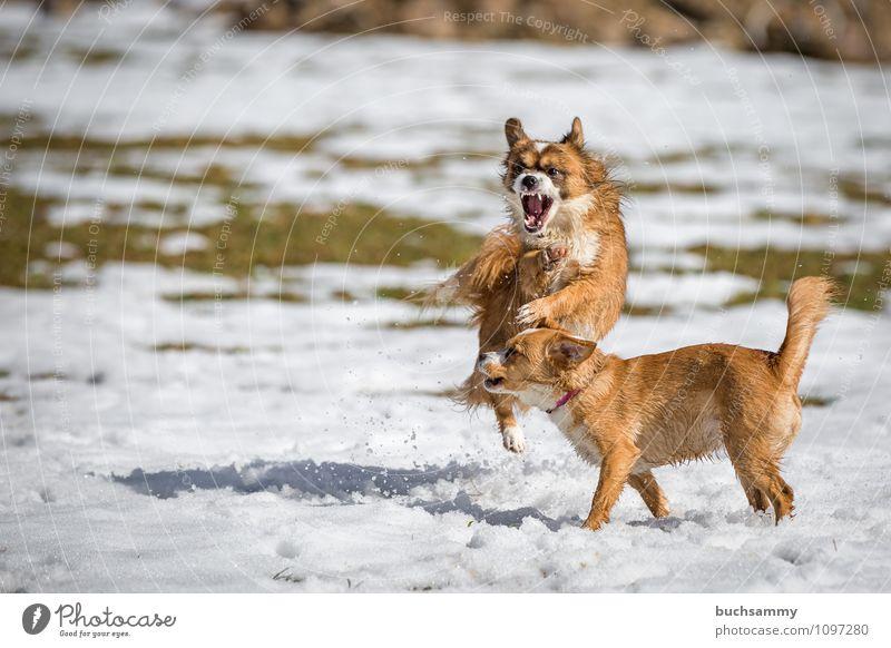 Buntes Treiben im Schnee Spielen Tier Haustier Hund 2 Tierpaar kämpfen springen Angriff Halsband Jung Mischling Säugetier Textfreiraum fliegen schlagen Farbfoto