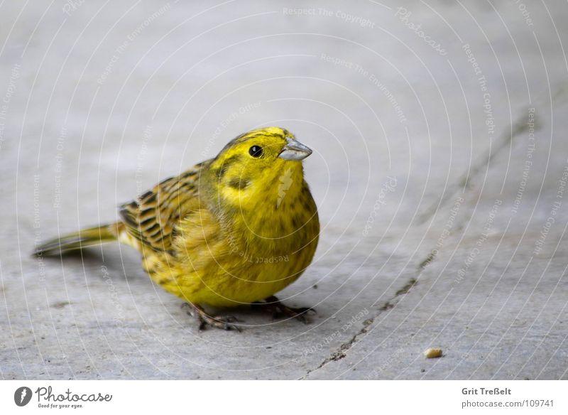 Goldammer Natur Tier gelb Vogel fliegen sitzen