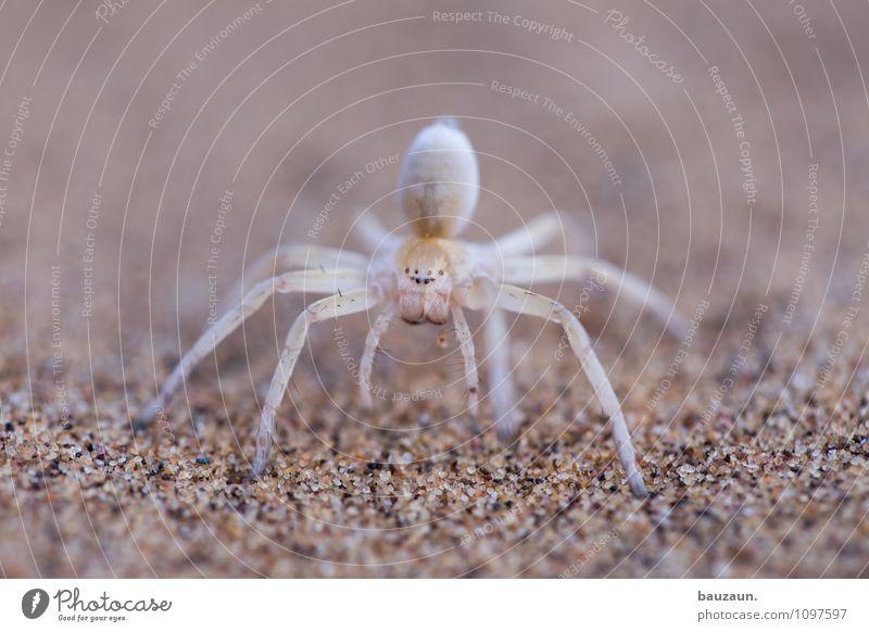 acht augen sehen mehr als zwei. Ferien & Urlaub & Reisen Tourismus Ausflug Abenteuer Sightseeing Natur Erde Sand Wüste Namibia Afrika Tier Wildtier Spinne