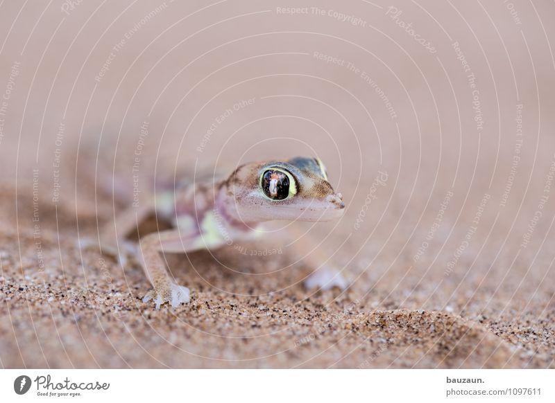 also. Ferien & Urlaub & Reisen Tourismus Ausflug Abenteuer Sightseeing Natur Erde Sand Wüste Namibia Afrika Tier Wildtier Tiergesicht Gecko 1 Auge beobachten