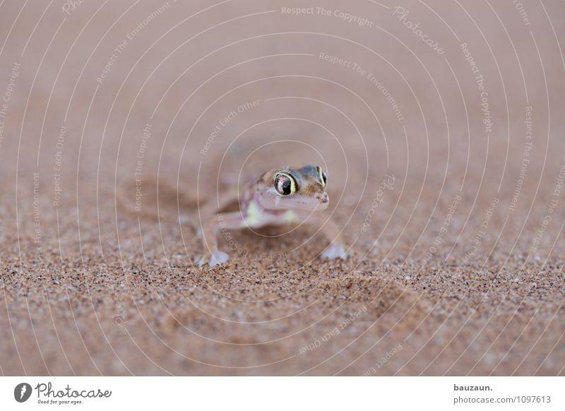 ähm. Ferien & Urlaub & Reisen Tourismus Ausflug Abenteuer Sightseeing Natur Erde Sand Wüste Namibia Afrika Tier Wildtier Tiergesicht Gecko 1 Auge beobachten