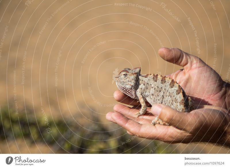 chamäleon. Ferien & Urlaub & Reisen Tourismus Ausflug Abenteuer Sightseeing Sommer Sommerurlaub Hand Sand Wüste Namibia Afrika Tier Wildtier Tiergesicht