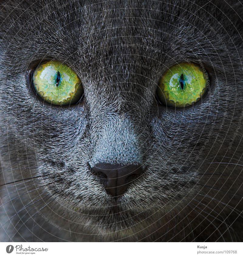 Hypnose grün grau Katze Angst Nase Säugetier Hass Schnauze Angriff Anspannung erschrecken Tier hypnotisch durchdringend