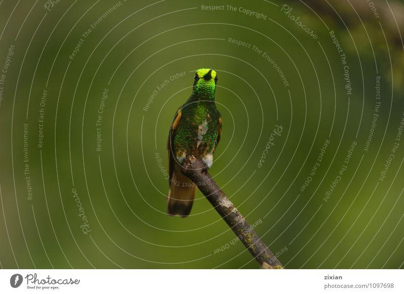 Fahlschwanz-Kronettsaphir Tier Wildtier Vogel 1 Leder Blick mehrfarbig Farbfoto Nahaufnahme Menschenleer Vogelperspektive