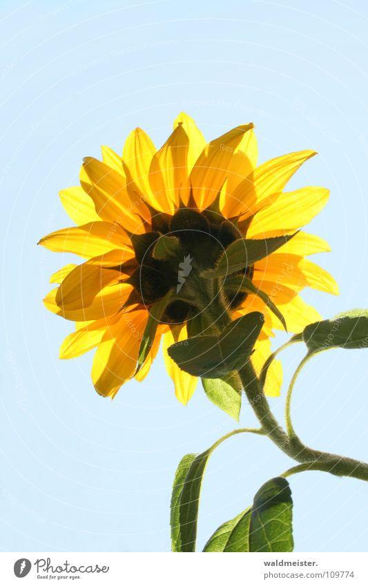 Sonnenblume Himmel Blume blau Sommer Blüte Garten himmelblau