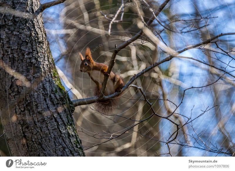 Eichhörnchen im Baum Natur blau schön rot ruhig Tier Winter Wald Herbst Frühling Glück braun Wetter Wildtier Fröhlichkeit