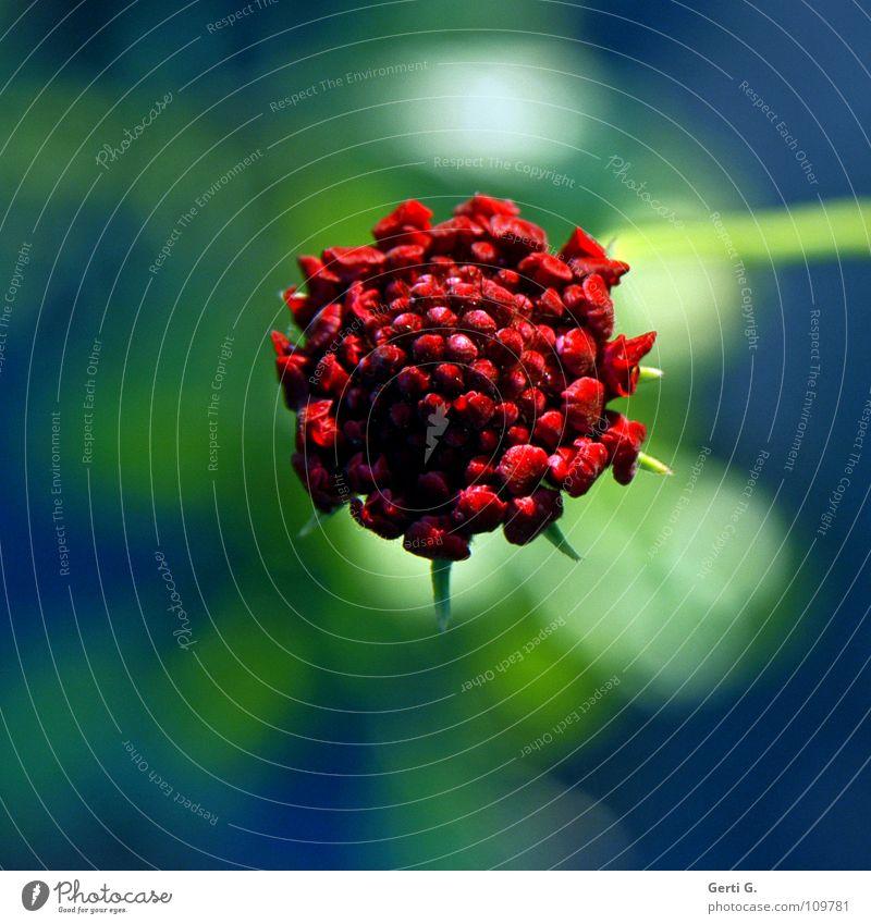 Mittel . Blume Blumenfeld Herbst Pflanze Blüte zart frisch Blühend rot grün Publikum zentral Stengel Sonnenlicht schön spätherbst Natur Blütenknospen blau