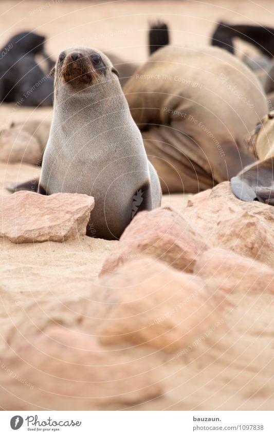 ich passe auf. Ferien & Urlaub & Reisen Tourismus Ausflug Sightseeing Strand Umwelt Natur Landschaft Küste Cape Cross Namibia Afrika Tier Wildtier Tiergesicht