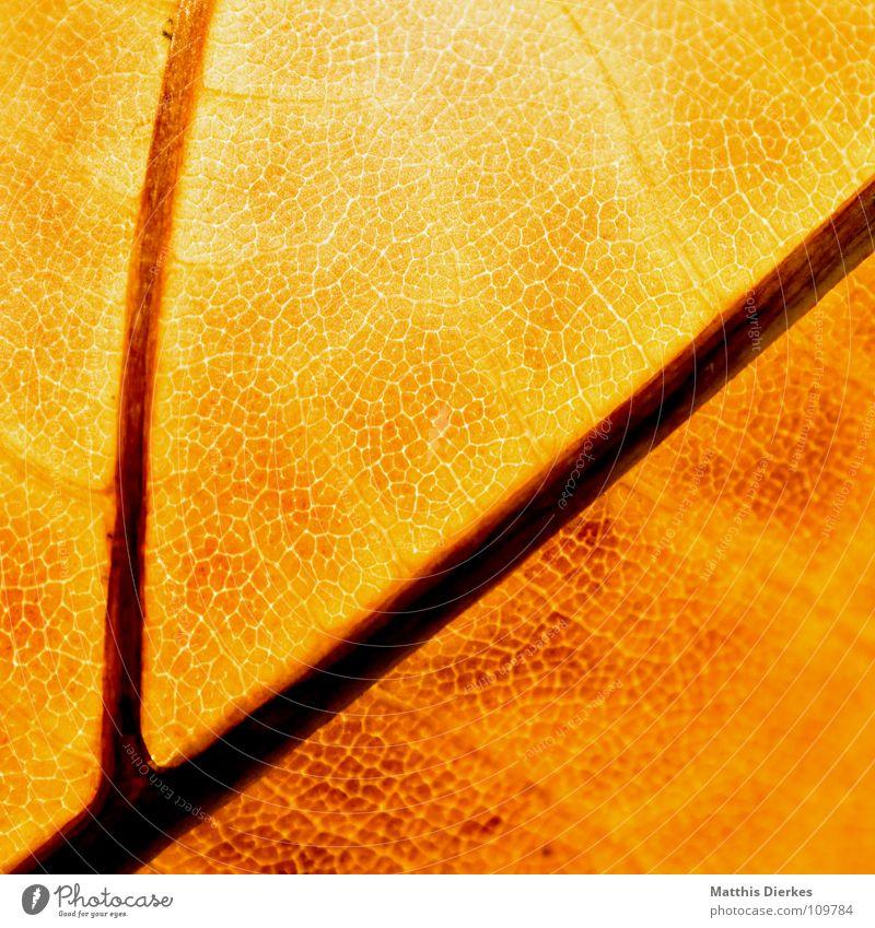DER HERBST IV Herbst herbstlich Herbstlaub Blattadern Makroaufnahme gelb durchleuchtet Bildausschnitt Hintergrundbild Herbstfärbung
