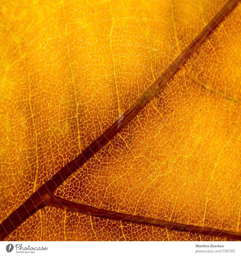 DER HERBST V Herbst herbstlich Herbstlaub Herbstfärbung Blattadern gelb Hintergrundbild Makroaufnahme Bildausschnitt