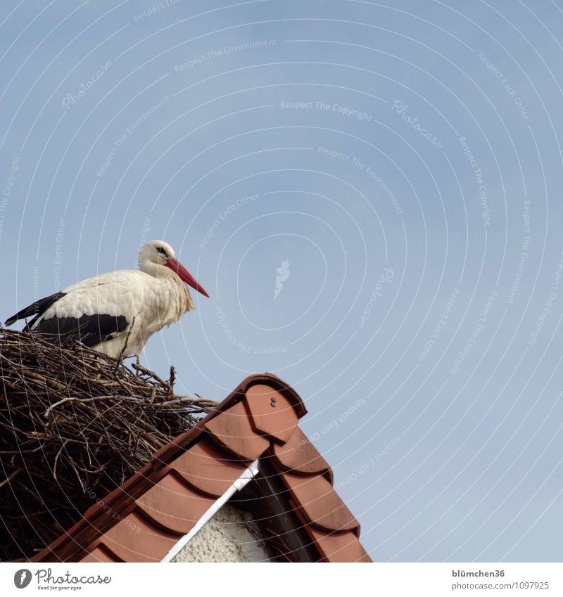 Er ist auch wieder da! Storch Weißstorch Schreitvögel Zugvogel Luftverkehr Federvieh beobachten Erholung sitzen ästhetisch elegant natürlich schön Haus