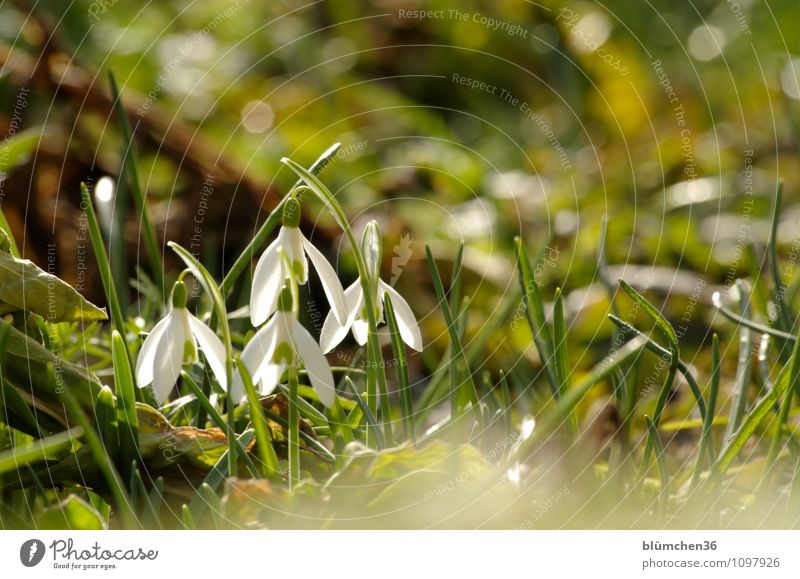 Bald kommt der Sommer Natur Pflanze Frühling Blume Blüte Schneeglöckchen Giftpflanze Alkaloid Amaryllisgewächse Blühend Duft stehen Wachstum Kitsch natürlich