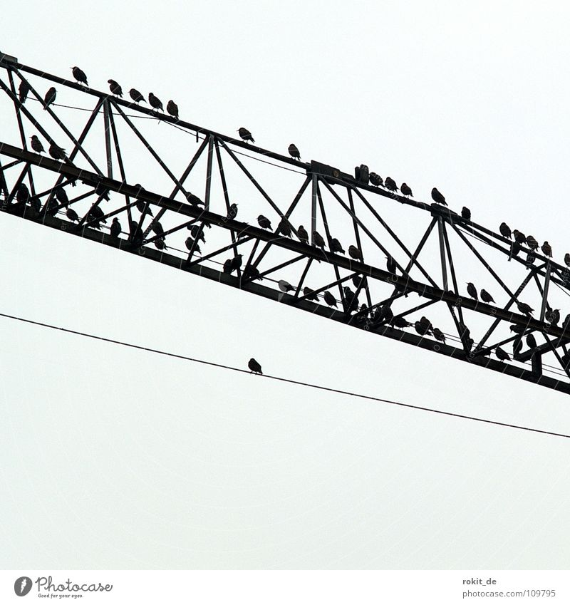 Heavy on wire Vogel Star Baukran Kran Verstrebung gruselig schwarz grau Krach Einsamkeit Pause einzeln mehrere Angst Panik Herbst ansturm Kabel sitzen Schwarm