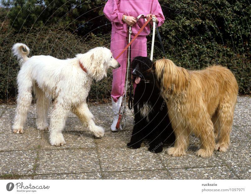 Afghanischer, Windhund Tier Haustier Hund beobachten Blick Afghane Familienhund Hunderasse Portraet Portrait Rassehund Landraubtier Haushund Greyhound dog