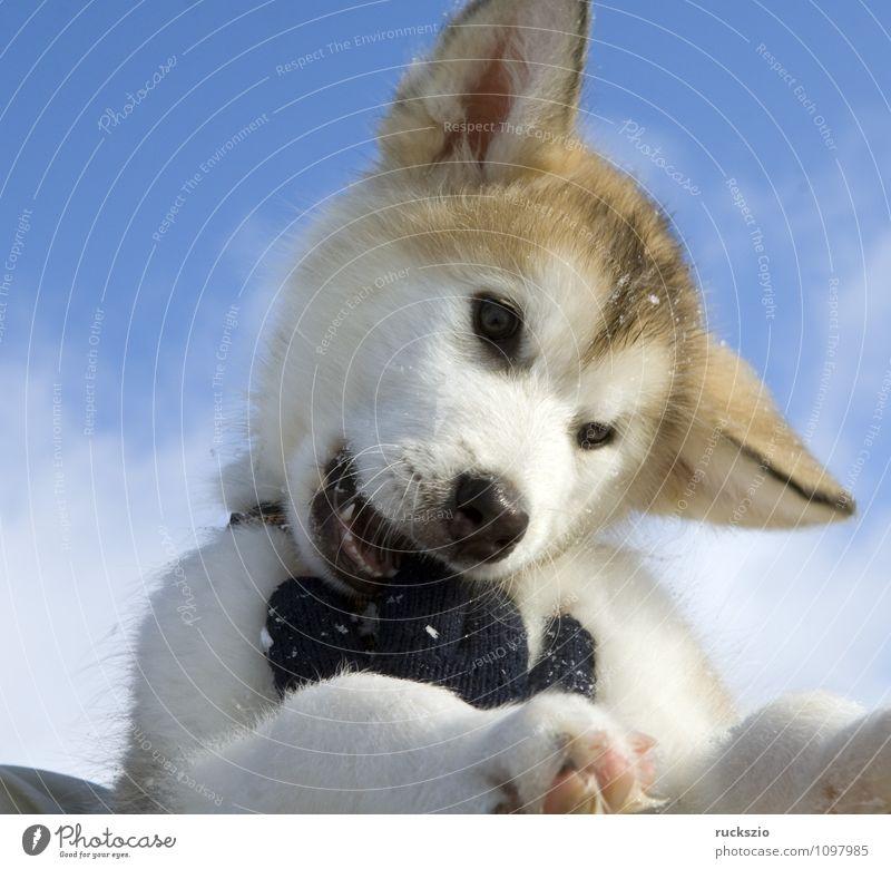 Alaskan; Malamut; Tier Hund Spielen Malamute Familienhund Haushund Haushunde Hunderasse Jung Junge Kopf Portraet Portrait Rassehund Schlittenhund familienhunde