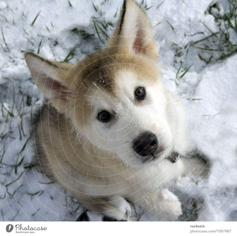 Alaskan; Malamut; Tier Hund Blick Malamute Familienhund Haushund Haushunde Hunderasse Jung Junge Kopf Portraet Portrait Rassehund Schlittenhund familienhunde
