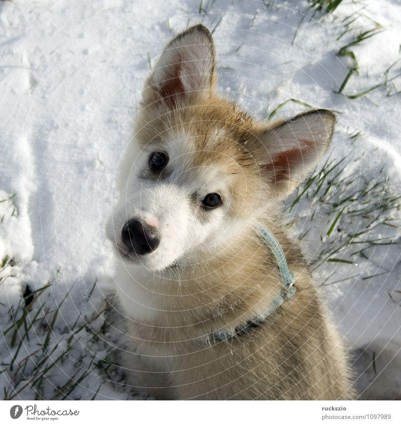 Alaskan; Malamut; Tier Hund beobachten Blick Malamute Familienhund Haushund Haushunde Hunderasse Jung Junge Kopf Portraet Portrait Rassehund Schlittenhund