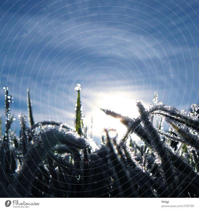 Eiskristalle an Grashalmen im Gegenlicht vor blauem Himmel Herbst Winter kalt frieren Raureif gefroren Morgen Sonnenaufgang Wiese Halm glänzend schimmern Licht