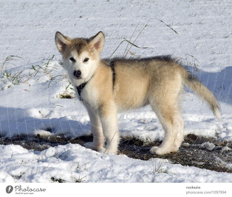 Alaskan; Malamut; Tier Hund beobachten Malamute Familienhund Haushund Haushunde Hunderasse Jung Junge Kopf Portraet Portrait Rassehund Schlittenhund