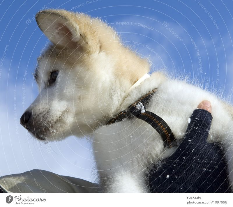 Alaskan; Malamut; Hund Tier genießen Haushund Rassehund Husky Schlittenhund