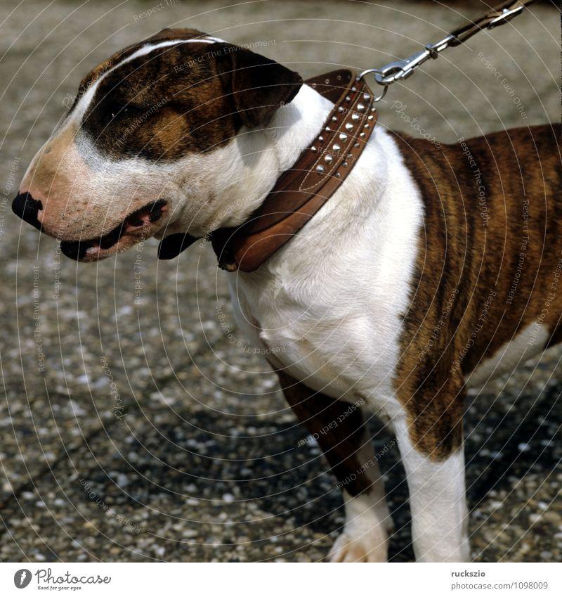 Bullterrier Tier Haustier Hund beobachten Cane Carnivora Familienhund Hunderasse Junger Kopf Portraet Portrait Rassehund Landraubtier britische Hunderasse