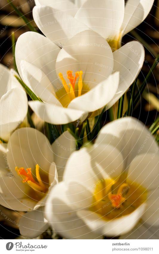 Fünf Krokusse Blume Blüte Frühling Garten Schrebergarten Kleingartenkolonie Wachstum Schwertlilie Montbretie Frühblüher Blütenblatt Gras Rasen Wiese Natur Sonne