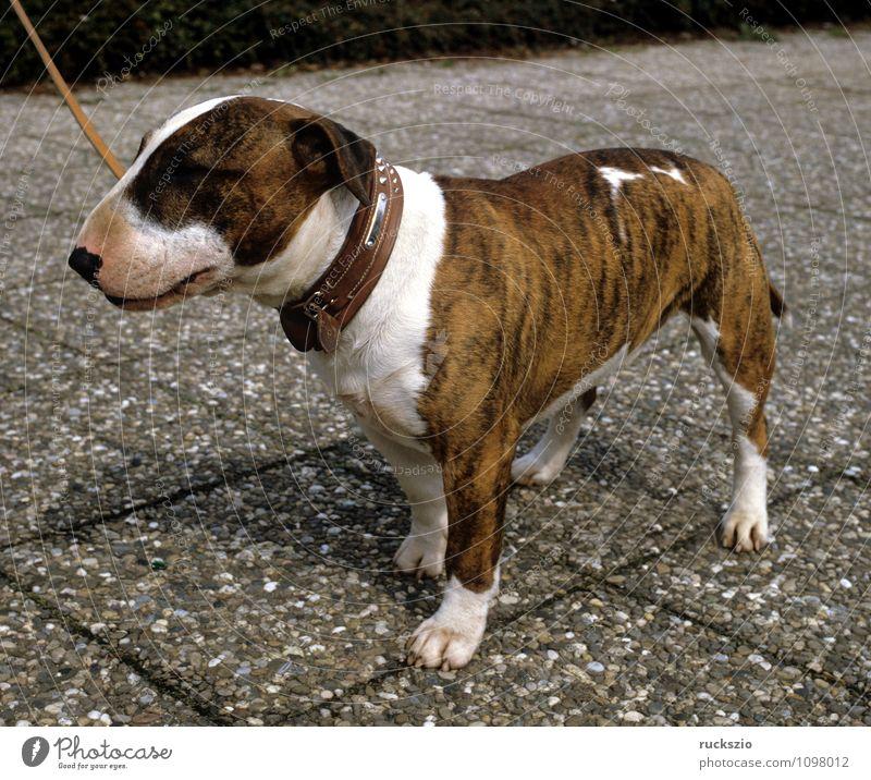 Bullterrier Hund Tier beobachten Haustier Landraubtier Haushund Rassehund