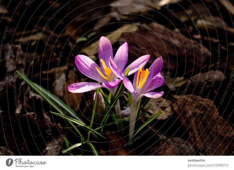 Zwei Krokusse Blume Blüte Frühling Garten Schrebergarten Kleingartenkolonie Wachstum Schwertlilie Montbretie Frühblüher Blütenblatt Gras Rasen Wiese Natur Sonne