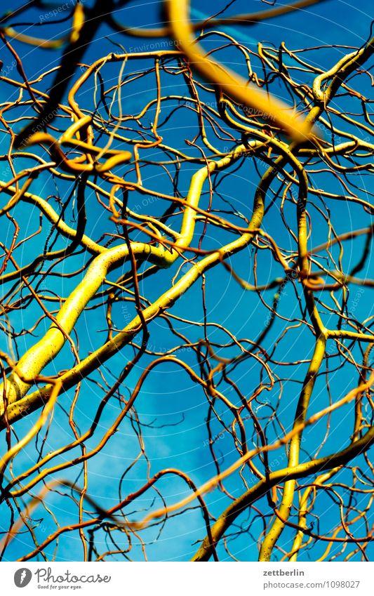 Weide Frühling Garten Schrebergarten Kleingartenkolonie Wachstum Korkenzieher-Weide Chinesisch Chinesischer Garten Baum Ast Zweig chaotisch durcheinander