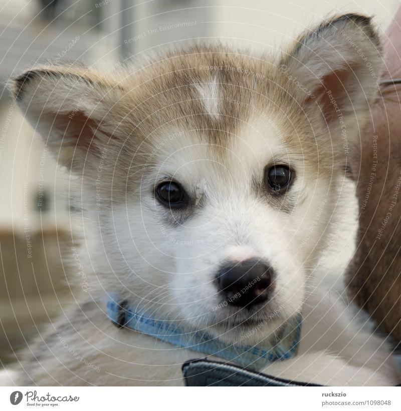 Alaskan; Malamut; Tier Hund beobachten genießen Malamute Familienhund Haushund Haushunde Hunderasse Jung Junge Kopf Portraet Portrait Rassehund Schlittenhund