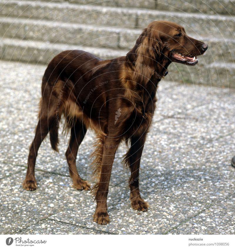 Setter Tier Haustier Hund beobachten Irish Setter Cane Carnivora Familienhund Hunderasse Junger Kopf Portraet Portrait Rassehund Landraubtier Haushund