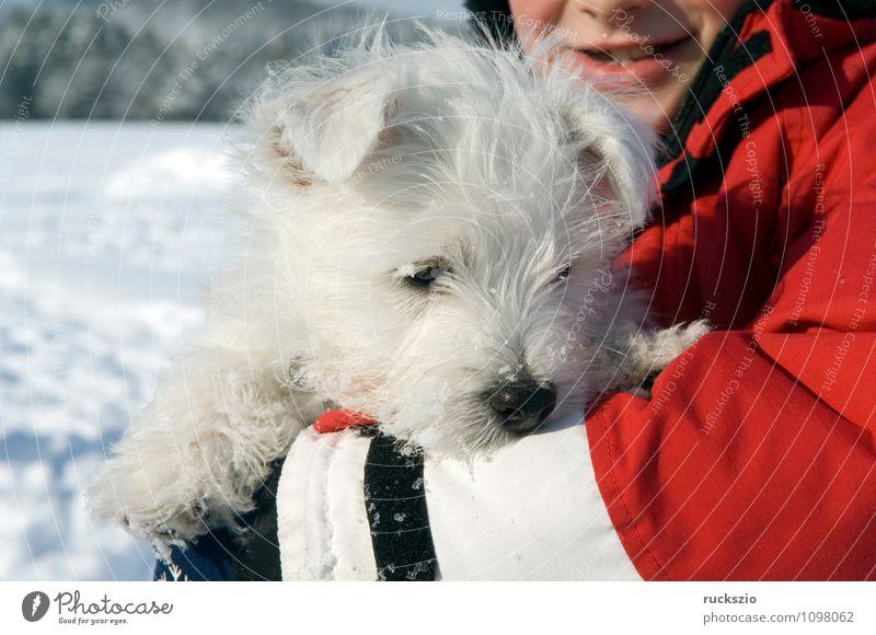 West, Highland, White, Terrier Hund Tier genießen Welpe Haushund Rassehund Schottisches Hochlandrind Westhighland-Terrier