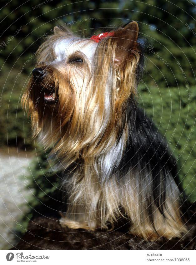 Yorkshire Terrier Tier Haustier Hund beobachten Yorkshire-Terrier Landraubtier Junger Familienhund Hunderasse Rassehund Kopf Portrait Portraet Haushund