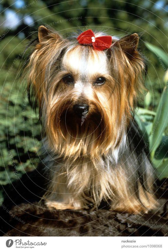 Yorkshire Terrier Hund Tier beobachten Haustier Landraubtier Haushund Rassehund Yorkshire-Terrier