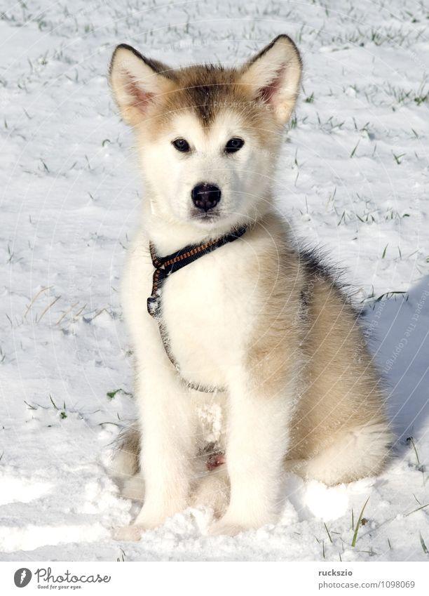 Alaskan; Malamut; Hund Tier beobachten Haushund Rassehund Husky Schlittenhund
